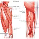 muscles des cuisses montana massage